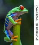 Red Eyed Tree Frog In Costa...