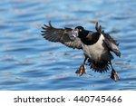 Male Ring Necked Duck Preparin...