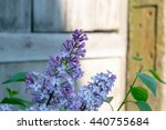 blossomed lilac flower bushes