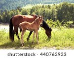 Horse With A Foal On The Meadow