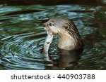 An Oriental Small Clawed Otter...