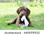 Stock photo hungarian hound young rough haired puppy 440959933