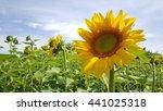 sunflowers field in italy | Shutterstock . vector #441025318