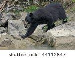 Black Bear Near River.