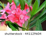 Pink Oleander   There Are Many...