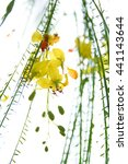 Small photo of Flowers of the Jerusalem Thorn (Parkinsonia aculeata). Rattama, Vedi-babhel