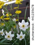Small photo of Narcissus. Narcissus poeticus actaea. Bushes narcissus flowers on blurred background. Close-up. Vertical photo