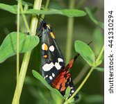 Small photo of Scarlet tiger moths (Callimorpha dominula) mating on vegetation. Brightly coloured British insects in the family Erebidae, previously Arctiidae, in cop