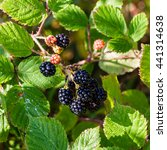 Small photo of Square pic of a bunch of wild ripe, black and red, blackberry hanging from a vine branch with a background of green leaves hit by dappled light on a sunny day near Eilean Donnan castle in Scotland.