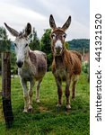 Two Donkeys Looking Curiously...