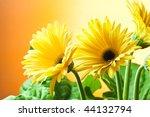 closeup photo of two yellow daisy gerbera flowers - stock photo