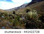 frailejones  espeletia  in the... | Shutterstock . vector #441422728