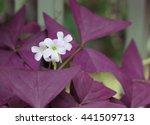 Oxalis. Purple Shamrock And...