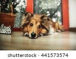 Shetland Sheepdog. Sheltie Dog...