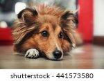 Shetland Sheepdog. Sheltie Dog