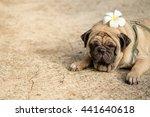 Funny Face Of Pug Dog Lying...