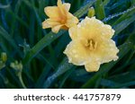 Two Day Lilies After The...