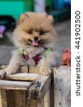 Small photo of Pomeranian garb