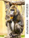 Small photo of Adult male mandrill