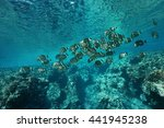 Small photo of A school of fish whitespotted surgeonfish, Acanthurus guttatus, on the fore reef of Huahine island, Pacific ocean, French Polynesia