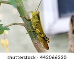 Small photo of Green locust from Acrididae family resting on a branch.