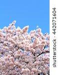cherry blossoms | Shutterstock . vector #442071604