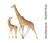 Stock photo watercolor giraffe family two hand painted animals from africa isolated on white background 442097416