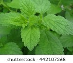 melissa plants on a bed close up   Shutterstock . vector #442107268