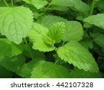 melissa plants on a bed close up   Shutterstock . vector #442107328