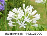 Small photo of White Agapanthus flowers in close up, also called African Lily