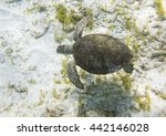 green sea turtle  chelonia... | Shutterstock . vector #442146028