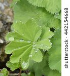 Small photo of Ladys-mantle Leaves - Alchemilla vulgaris With Rain Drops