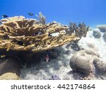 Small photo of Elkhorn coral (Acropora palmata)
