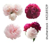 set of peonies flower isolated... | Shutterstock . vector #442185529