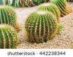 Golden Barrel Cactus In Botany...