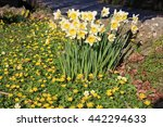 Daffodils And Celandines