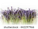 Row Of Wild Mountain Lavender...