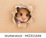 Stock photo little hamster looking up in cardboard side torn hole 442311646