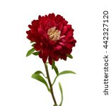 Magenta Chrysanthemum Isolated...