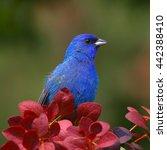 indigo bunting | Shutterstock . vector #442388410