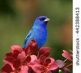 indigo bunting | Shutterstock . vector #442388413