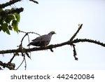 Small photo of African olive pigeon (Columba arquatrix) in Nyungwe National Park, Rwanda