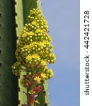 Small photo of Yellow flowered head of stalked aeonium - a succulent plant.