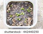 Breeding Lobivia Cactus