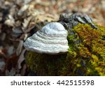 Fomes Fomentarius  Commonly...
