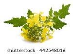Mustard Flowers Isolated On...