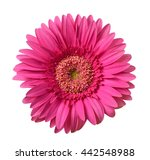 Pink Gerbera  Isolated On Whit...