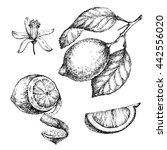 hand drawn vintage lemon plant. ... | Shutterstock . vector #442556020
