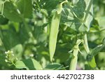 Plant Of Pea Growing In Garden