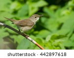 Small photo of Blyth's reed warbler (Acrocephalus dumetorum) on the branch